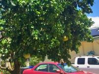 Large Jabong Fruit Tree