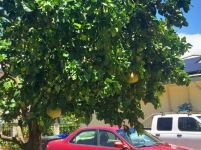 Large Jabong Fruit Tree