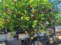 Chinese Orange Tree